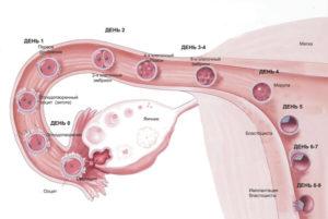 Через сколько дней оплодотворенная яйцеклетка прикрепляется к матке