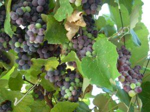 Можно ли кормящей маме виноград в первый месяц