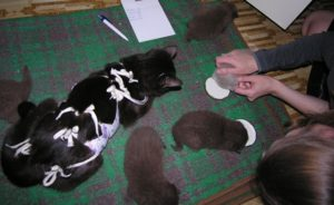 С какого возраста и чем можно подкармливать котят