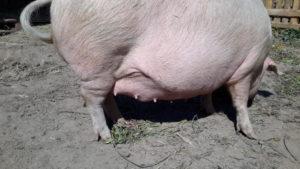 Свинья супоросная сколько ходит