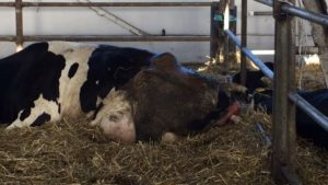 Сколько раз корова рожает