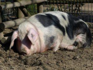 Поведение свиньи перед опоросом