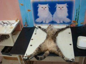 Когда лучше стерилизовать кошку после родов или нет