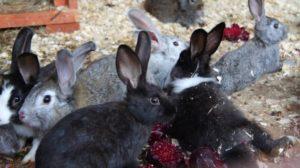 Можно ли давать кроликам ботву от кормовой свеклы