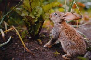 Можно кроликам давать свеклу