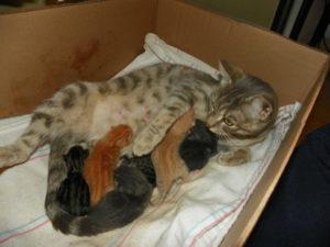Через сколько дней после родов может забеременеть кошка