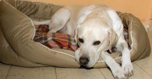 Ложная беременность у собак лечение народными средствами