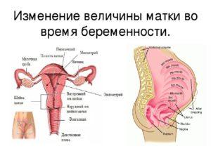 Матка возбуждена при беременности