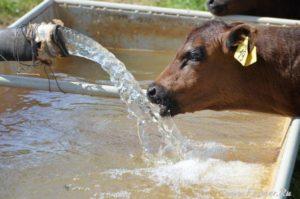 Теленок пьет много воды