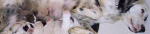 Собака дрожит перед родами