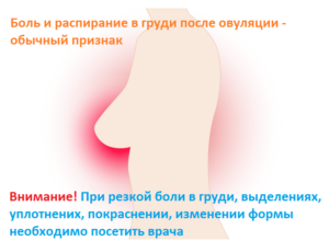 Через сколько после овуляции начинает болеть грудь
