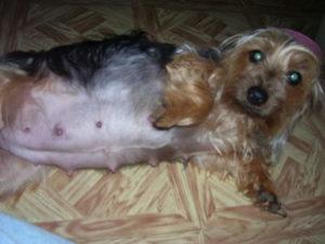 Когда начинают шевелиться щенки йорка у беременной собаки