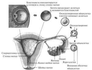Сколько времени оплодотворенная яйцеклетка движется к матке симптомы