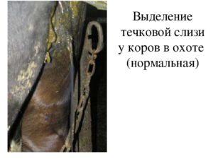 У коровы выделения кровяные