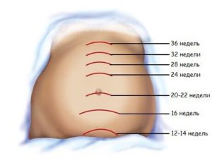 Где находится дно матки в 16 недель беременности