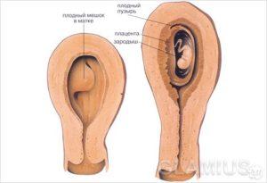 На какой неделе беременности эмбрион прикрепляется к матке