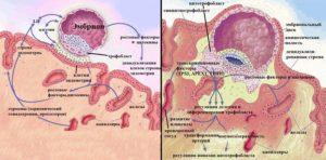 Сколько дней эмбрион прикрепляется к матке при эко