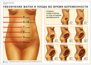 Рост матки по неделям беременности