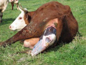 Сколько рожает корова телят