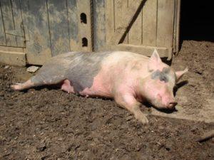 Признаки когда борзует свинья