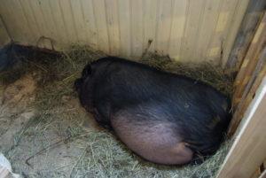 Признаки беременности вьетнамской свиньи