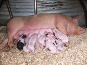 Сколько свинья рожает поросят